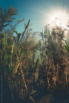 Pike hiding between plants underwater  by JovanaMilanko   Stocksy United