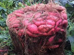 Garden Design Rustic How to Grow a Massive Sweet Potato Harvest With DIY Containers - Gardening Channel.Garden Design Rustic How to Grow a Massive Sweet Potato Harvest With DIY Containers - Gardening Channel Garden Types, Do It Yourself Garten, Potato Gardening, Container Gardening Vegetables, Garden Container, Succulent Containers, Container Flowers, Growing Sweet Potatoes, Growing Carrots
