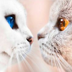 14 Most Amazingly Beautiful Cat Breeds in the World Cute Kittens, Cats And Kittens, Siamese Cats, Pretty Cats, Beautiful Cats, Funny Cat Videos, Funny Cats, Funny Memes, I Love Cats