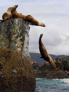 marinemammalblog:  Sea Lions by Kevin7 on Flickr.
