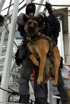 Military Working Dog rappelling. God bless our heroes!!