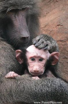 Funny Monkeys - Funny Monkey Picture 021 (FunnyPica.com) Mother love