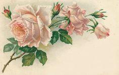 Light pink roses ~ vintage postcard