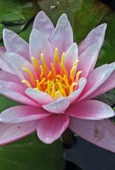 Water Lily Pink - Bare Root Plant