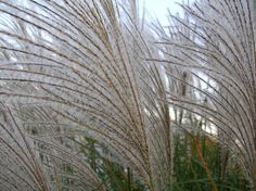 miscanthus seedhead2 | Flickr - Photo Sharing!