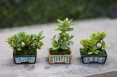 クチナシのミニ盆栽 の画像|超ミニ盆栽のブログ