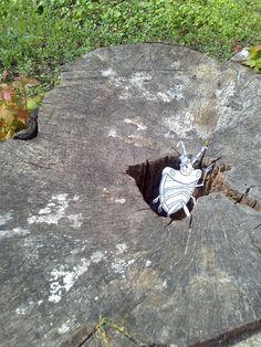 Baumstumpfprüfung. Vielleicht nächstes Winterquartier. Geräumig und komfortabel, dieses Loch...
