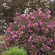 (Island beds next to road)   Fine Wine™ - Weigela florida Rich pink spring flowers often rebloom through summer. Dark purple foliage all season. Good for mixed borders or foundation plantings. Deer resistant. Season-long color.