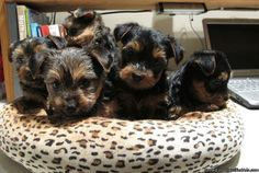 AKC Purebred Super Teacups Yorkshire Terrier puppies - Classified Ad