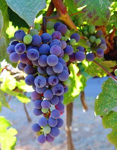Picture of a malbec at Franciscan Vineyard, Napa Valley, CA grape and leaves - 2006 licensed as per caption Fruit Plants, Fruit Garden, Fruit Trees, Malbec Wine, Napa Valley Wine, Fruit Photography, Beautiful Fruits, Growing Grapes, In Vino Veritas