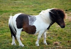 Bay Tobiano Shetland Pony with a Roaned Patch.