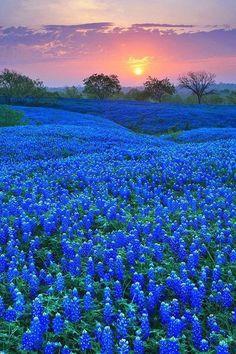 Bluebonnet Field in Ellis County, Texas #bluebonnet