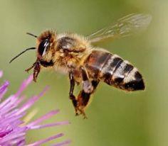 Bijen houden van biologisch
