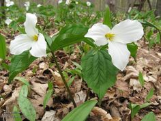 White Trillium (Trillium grandiflorum) provincial flower of Ontario • Family: Lily (Liliaceae) • Habitat: rich woods • Height: 12-18 inches • Flower size: 2-4 inches across • Flower color: white, turning pink with age • Flowering time: April to June  • Photo by Doug Colter