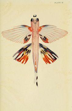 1926 flying fish vintage illustration