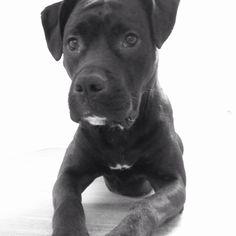 Boxer, Art Drawings, Pitbulls, Dogs, Photography, Animals, Fotografie, Animales, Photograph
