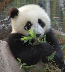 Pandas in China!