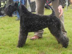 black lakeland terrier lakeland