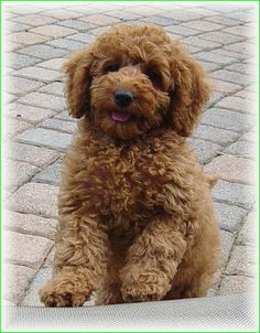 I want one soooo bad-Australian Labradoodles U. Cute Dogs And Puppies, I Love Dogs, Doggies, Cockapoo Puppies, Goldendoodle, Animals And Pets, Funny Animals, Cute Animals, Poodle Cuts