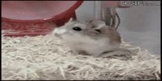 Photo of Turbo Hamster for fans of Hamsters. Funny Hamsters, Dwarf Hamsters, Baby Animals, Funny Animals, Cute Animals, Roborovski Hamster, Funny Cute, Hilarious, Funny Animal Videos