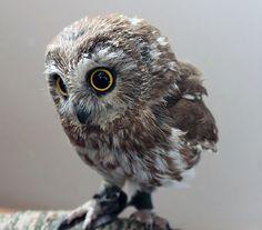 Rapaces - Chouettes et Hiboux sont des Oiseaux de Nuit Symboles de Sagesse - De Magnifiques Couleurs