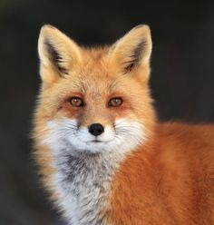 Red Fox by Megan Lorenz