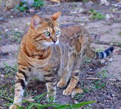 Scarlett the Bengal cat