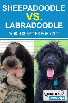 Deciding between a sheepadoodle and labradoodle? There are a few characteristics that will help sway you towards which is best for your family! #Sheepadoodle #Labradoodle #LargeDogs Doodle Dog Breeds, Sheepadoodle Puppy, Puppy Facts, Most Popular Dog Breeds, Guide Dog, Old English Sheepdog, Separation Anxiety, Mixed Breed, Goldendoodle