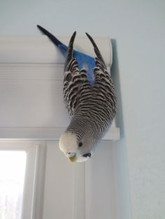 Budgies love to hang on things! Cute Birds, Pretty Birds, Beautiful Birds, Budgie Parakeet, Budgies, Animals And Pets, Baby Animals, Cute Animals, Budgie Toys