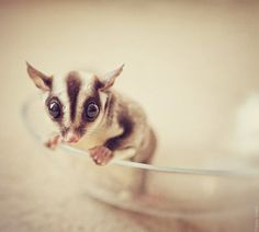 Little sugar glider #cute #animals