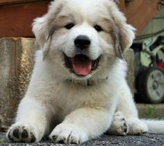 Great Pyrenees puppy!