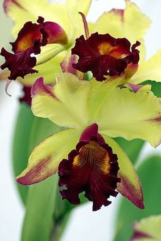 Orchid Gorgeous Cattleya