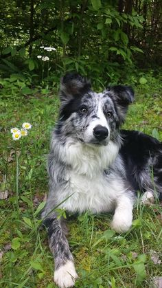 Border Collie Has His Eyes on Something. Cute Baby Puppies, Puppies And Kitties, Cute Dogs, Doggies, Border Collie Blue Merle, Border Collie Puppies, Beautiful Dogs, Animals Beautiful, Cute Animals