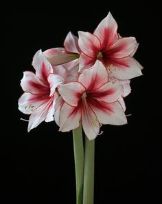 Buy Temptation Amaryllis Bulb from Ty Ty Nursery Wonderful Flowers, Beautiful Flowers, Amaryllis Bulbs, Amarillis, Exotic Flowers, Flower Photos, House Plants, Flower Art, Planting Flowers