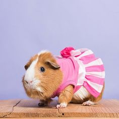 Guinea Pigs are the shit. Guinea Pig Costumes, Guinea Pig Clothes, Pet Costumes, Hamster Clothes, Diy Guinea Pig Cage, Pet Guinea Pigs, Funny Animal Videos, Funny Animal Pictures, Funny Animals