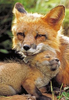 mommy and baby fox