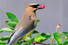 Cedar and bohemian waxwings love berries. Learn how to attract these berry chasers to your yard with plants like dogwood, serviceberry, and juniper.