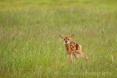 The Littlest Fawn by t.sullivan