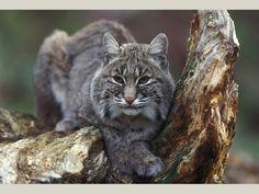 Senator Don Harmon on Bobcat Hunting in Illinois