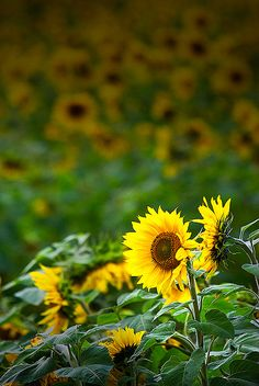 Sunflowers for you love muah : ) I think I'm going to plant sun flowers :)