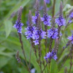 Verbena hastata 'Blue' watch for powdery mildew