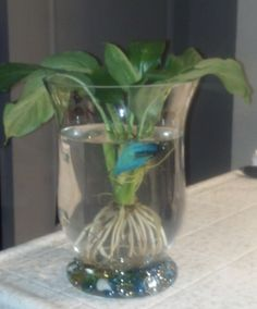 Lilies water and peace on pinterest for Peace lily betta fish