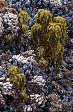 Sea Palm (Postelsia palmaeformis)