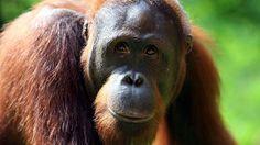 Sumatran orangutan pregnant at Philadelphia Zoo