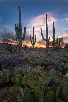Saguaro Sunset. Saguaro National Park near Tucson, Arizona
