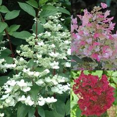 Vijver en Tuincentrum Pelckmans: Hydrangea paniculata 'Wim's Red'