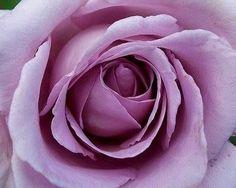 Tüplü Yediveren Lila Renkli Kokulu Sarmaşık Gül Fidanı
