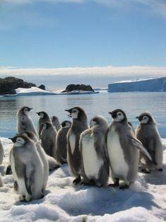 Group of fledging emperor penguin chicks Penguin Love, Cute Penguins, Penguin Images, Cute Little Animals, Baby Animals, Beautiful Birds, Animals Beautiful, Galapagos Penguin, Penguin Species