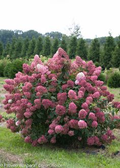 Proven Winners - Fire Light® - Panicle Hydrangea - Hydrangea paniculata pink red white white changing to pink-red plant details, information and resources. Hydrangea Paniculata, Hydrangea Shrub, Hortensia Hydrangea, Hydrangeas, Garden Shrubs, Flowering Shrubs, Garden Pests, Trees And Shrubs, Shade Garden