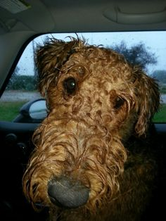 Wet Puppy.  Airedale Terrier.